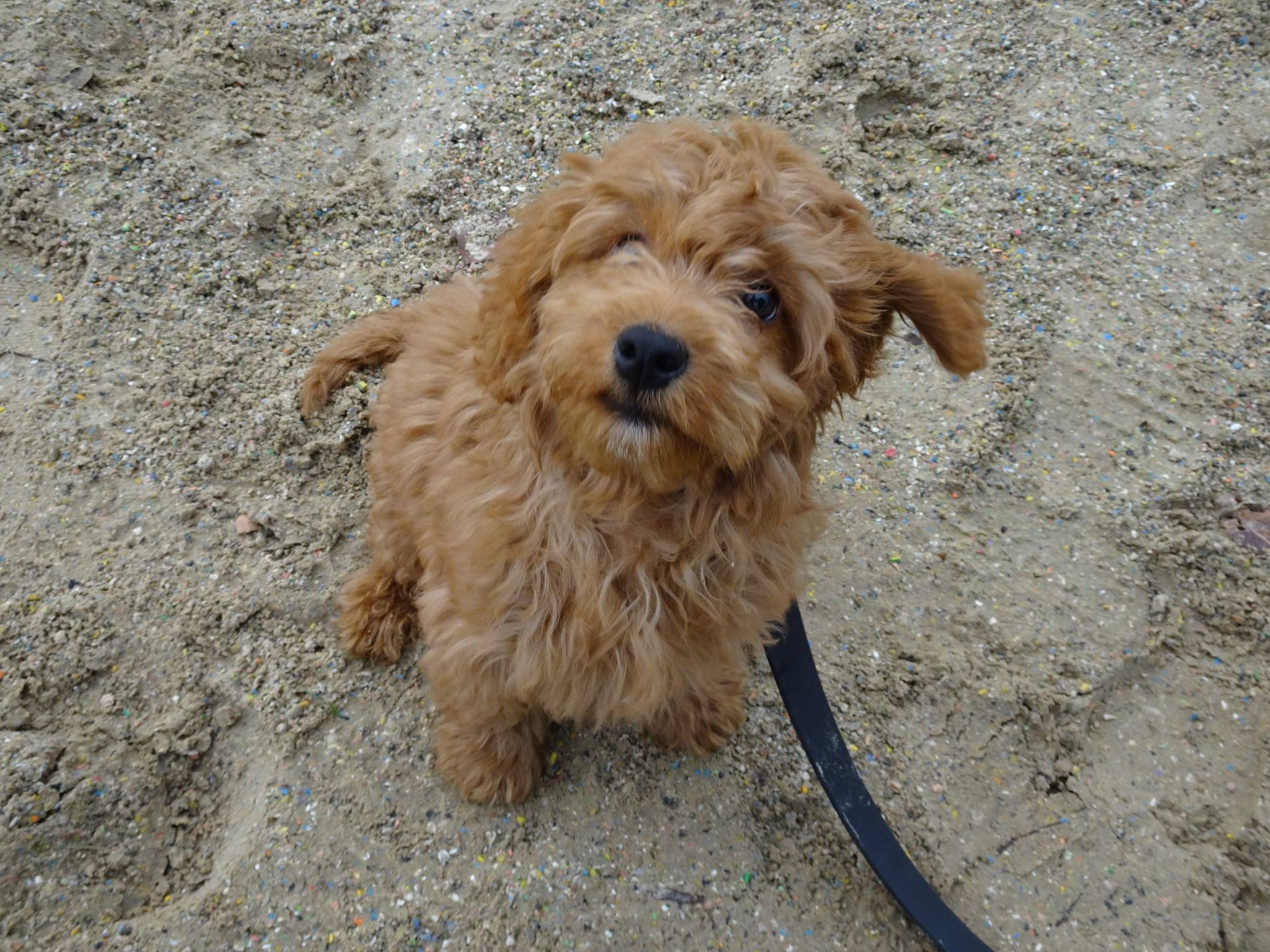 Banjo Cockapoo Puppy 3 Week Residential Dog Training At